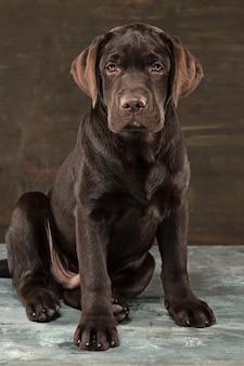 Портрет черной собаки лабрадора принятой против темного фона.
