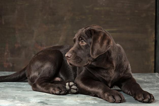 暗い背景に撮影された黒いラブラドール犬の肖像画。