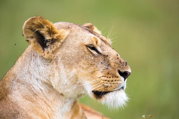 Портрет львицы, лежащей в траве