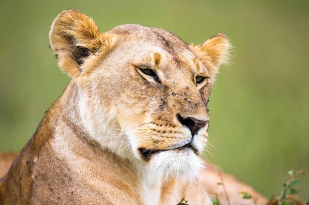 雌ライオンの肖像画、彼女はサバンナの草の中にあります