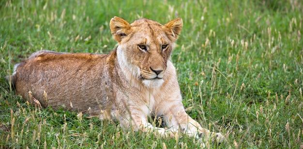 Портрет львицы, она лежит в траве в саванне