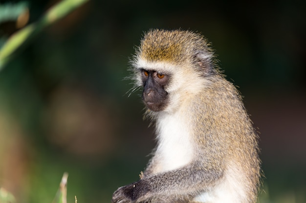 ケニアのサバンナにいる猿の肖像画