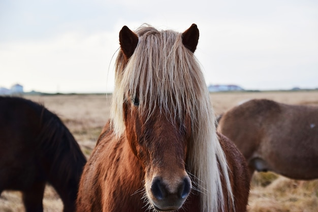 カメラを見てアイスランドの馬の肖像画。