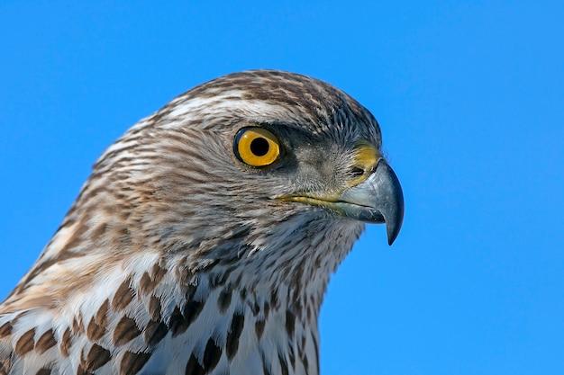 鷹の略奪的な表情