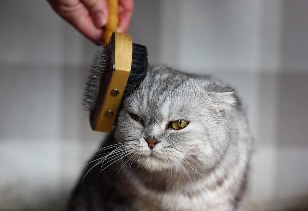 스코틀랜드 고양이의 털을 빗질하는 과정
