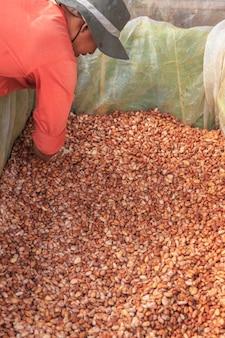 タンク内で新鮮なカカオ豆を発酵させるプロセス