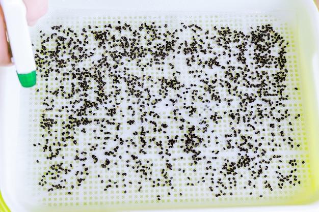 미세 녹화 트레이에 씨앗을 심는 과정