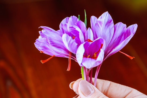 나머지 꽃에서 사프란 가닥을 분리하는 과정.