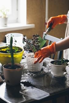 실내 식물을 이식하는 과정