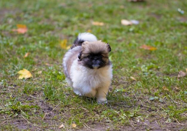 子犬は芝生で遊んでいます