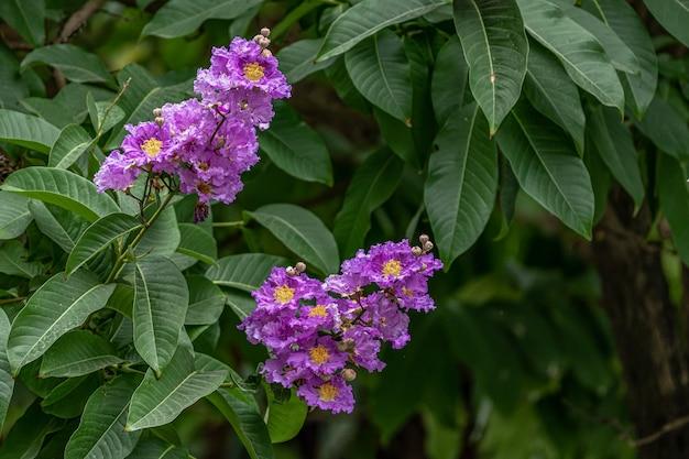 Фиолетовые цветы креп-мирта окружены зелеными листьями.