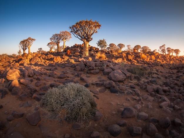 아프리카 나미비아의 keetmanshoop 근처 quivertree 숲