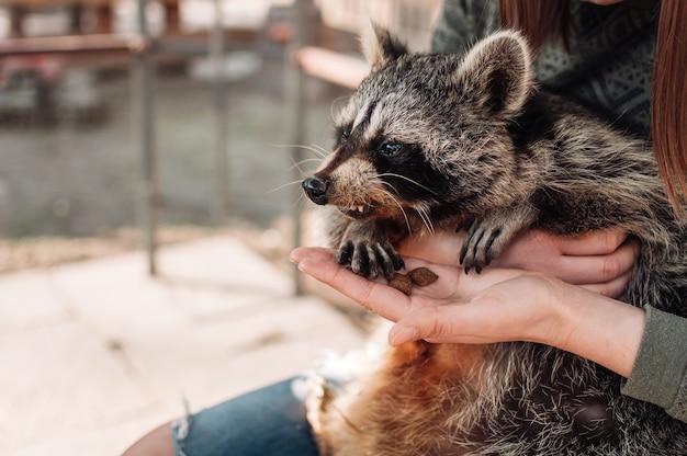너구리는 소녀의 팔에 앉아 있습니다. 소녀는 그녀의 손에서 동물을 먹입니다. 귀여운 솜털 수컷 너구리. 동물원에서 길들여진 포유동물. 선택적 초점