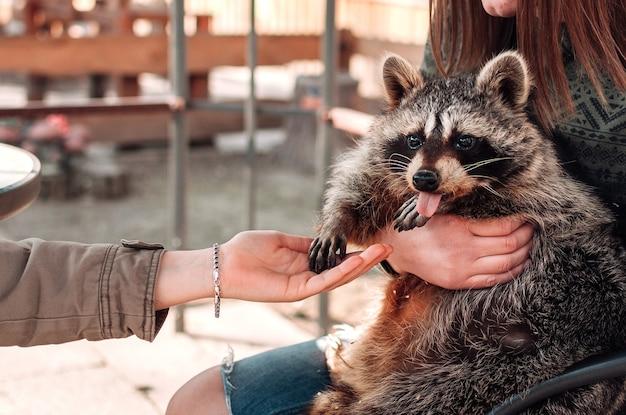 너구리는 혀를 내밀었다. 소녀는 애완 동물을 팔에 안고 있습니다. 두 번째 소녀는 그에게 손을 내밀었다. 귀여운 솜털 같은 수컷 너구리. 동물원에서 길들여진 포유동물. 선택적 초점