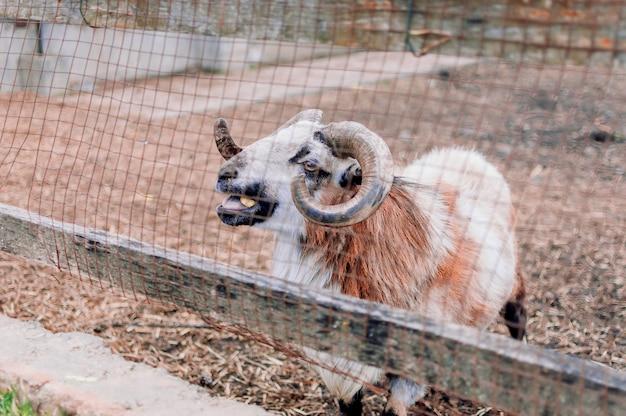 雄羊はパドックの網まで歩いて行き、音を出します。農場の大人の雄羊の大きな角。