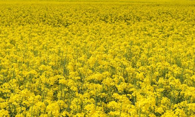 Поле рапса цветет ярко-желтыми цветами