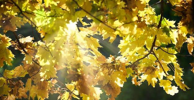 Солнечные лучи пробиваются сквозь желтые листья клена в осенний день.