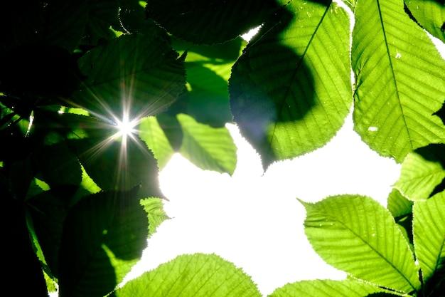 Лучи солнца светят сквозь листья каштана