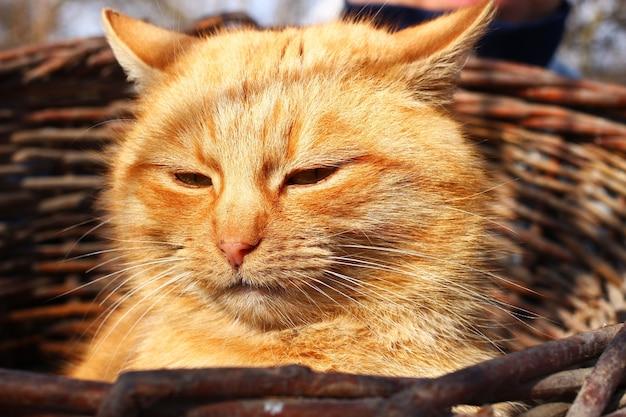 바구니에 빨간 고양이