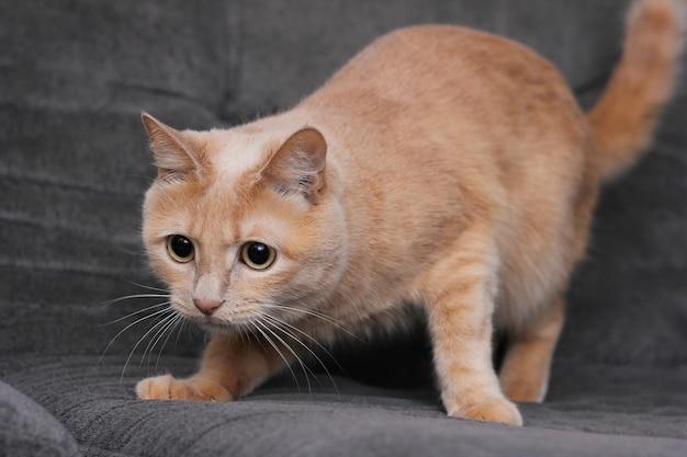 赤猫はジャンプの準備をしています。赤猫は集中して目をそらします。面白いペットのコンセプト。