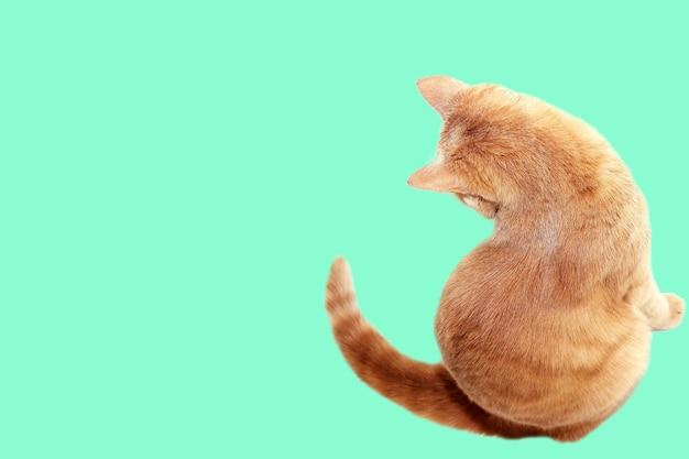 Рыжий кот сидит спиной к камере. рыжий кот, изолированные на белом фоне.