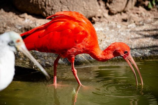 Красный гуар - пелеканообразная птица семейства threskiornithidae.