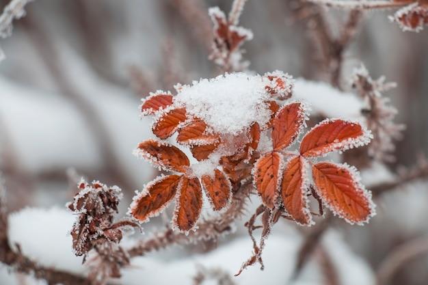 찔레 나무의 붉은 잎은 흰 서리에 덮여