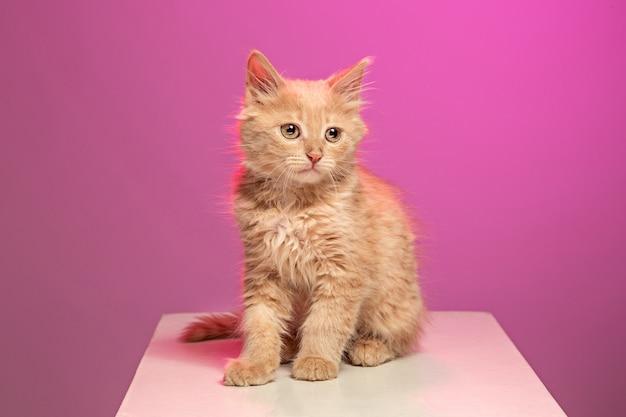 Рыжий или белый кот я на розовой студии