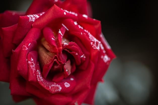 凍りつくような早朝、赤いバラは霜で覆われています。