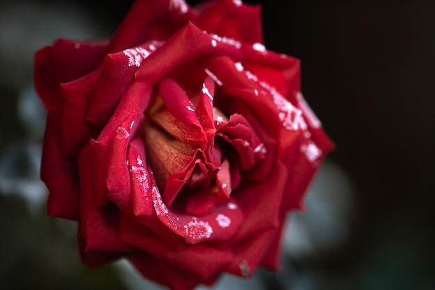 Красная роза покрывается инеем ранним морозным утром.