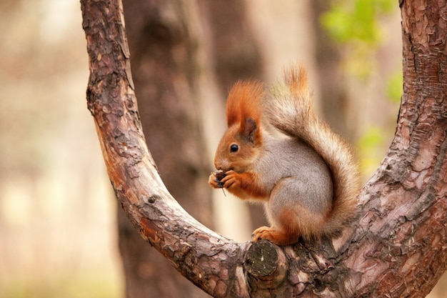Рыжая белка сидит на дереве с орехом в лапах