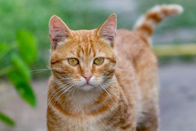 赤い縞模様の猫がカメラをまっすぐ見つめる