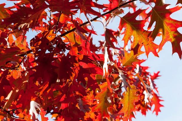 枝の赤くなった樫の葉は樫の木、秋の明るくカラフルな自然です