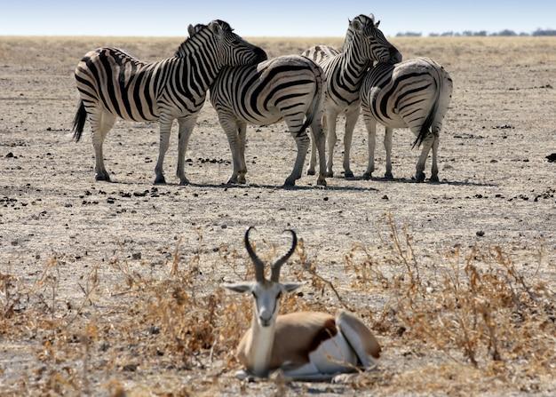 残りのシマウマ、ナミビア、エトーシャパーク