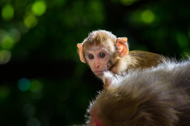 Rhesus macaque monkeyは、自然の生息地に座って見渡しています。
