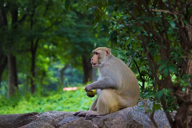 アカゲザルの猿