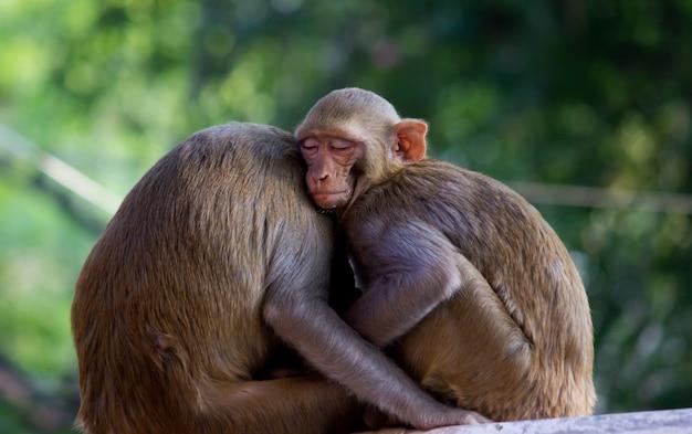 夏の午後に昼寝をしたり、木陰で兄弟と寝ているアカゲザル