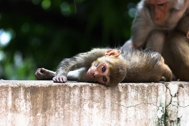 Обезьяна-резус в игривом настроении сидит на скале и смотрит в камеру