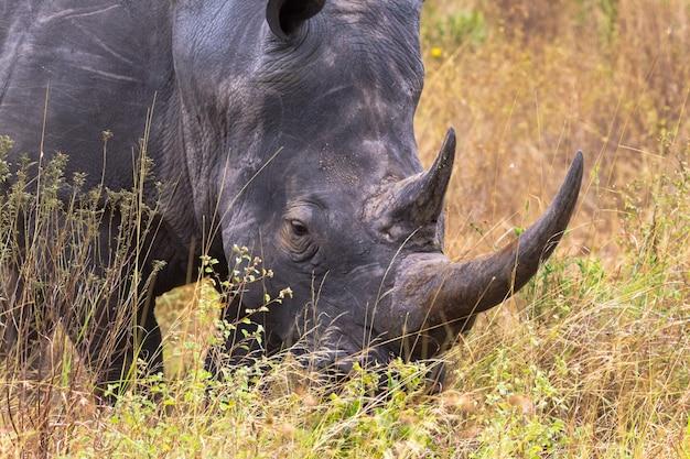 Голова носорога крупным планом в саванне меру, кения