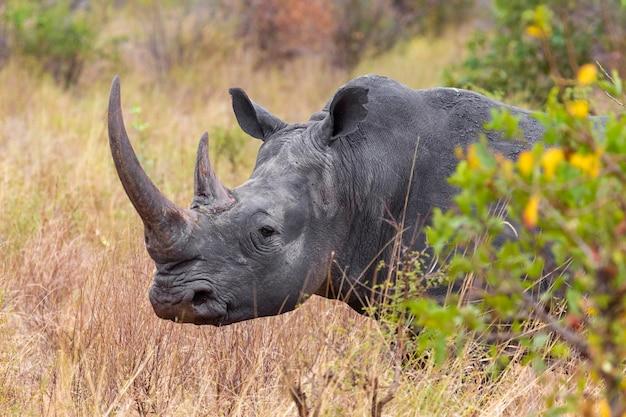 Голова носорога крупным планом меру кения
