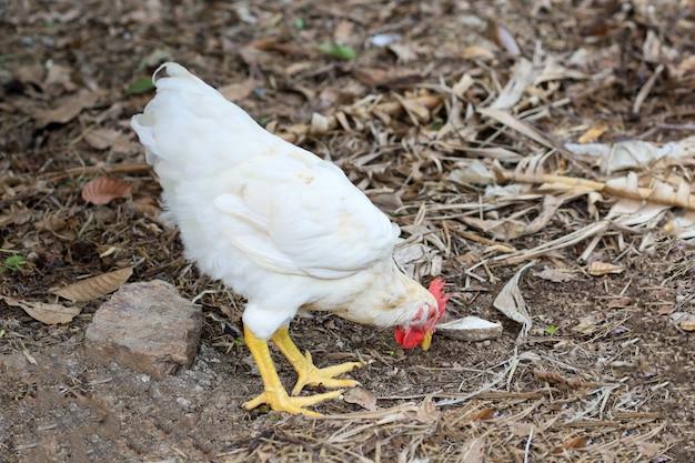 ロードアイランドの赤鶏は庭を散歩します