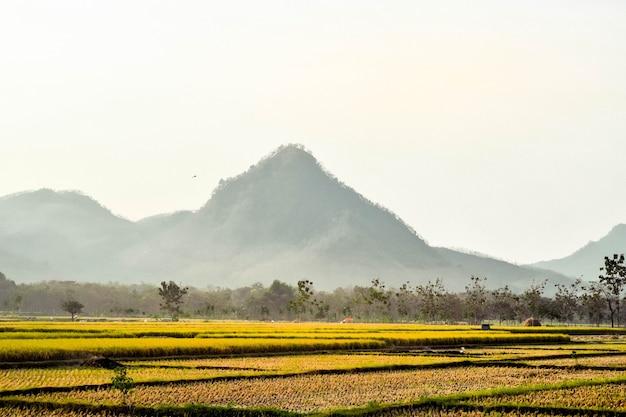 인도네시아 동부 자바 포노로고의 산을 배경으로 논이 벼를 수확하는 동안 황변하고 있다