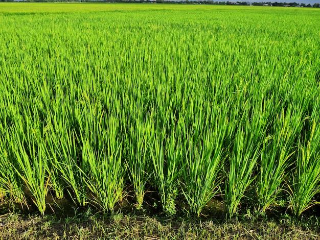 Рисовые поля в банауэ, филиппины