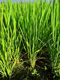 Рисовые поля в банауэ