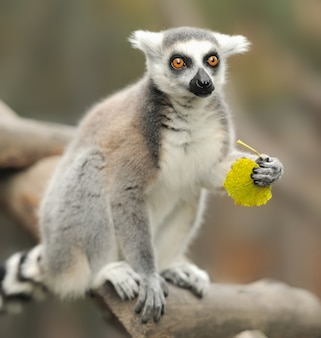 Кошачий лемур lemur catta