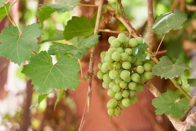 Спелые зеленые ягоды винограда, растущие на винограднике.