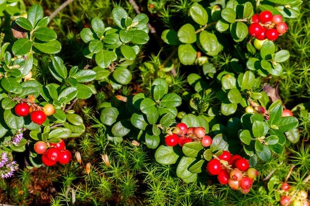 숲에 있는 잘 익은 신선한 베리(링곤베리, 파트리지베리 또는 카우베리). 매크로 사진입니다. 여름 시즌에 자연입니다.