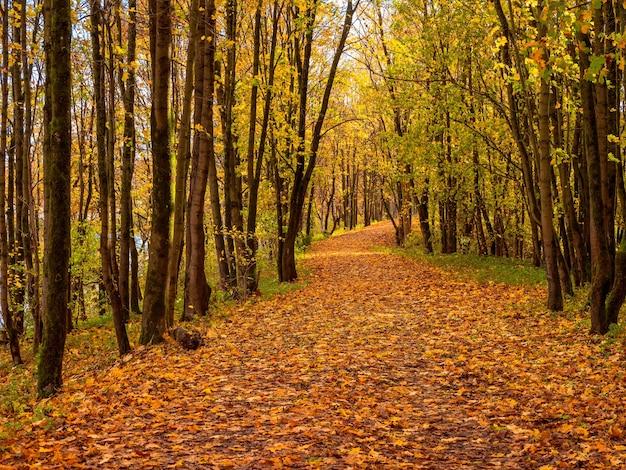 日当たりの良い秋の森の道はカエデの葉で覆われています。秋の風景。