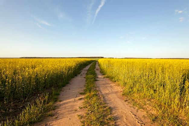 畑への道-アスファルトで舗装されていない田舎の道と、菜種を育てる畑。日没