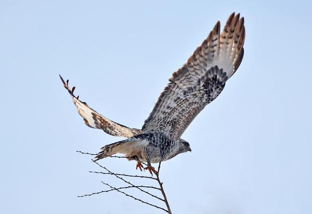 ケアシノスリ(buteo lagopus)が青空を背景に木から飛び立つ
